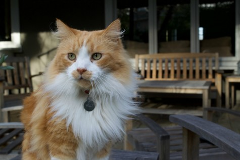 He's Got Cat-itude: Local Cat Brings Happiness to Los Altos Community